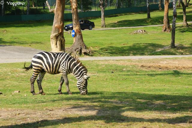 Zebre nell'area safari di Pombia