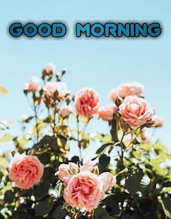 good morning flowers rose