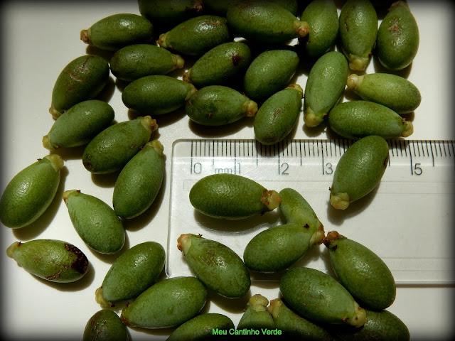 Coquinhos ARECA-DE-LOCUBA - ( Dypsis madagascariensis )