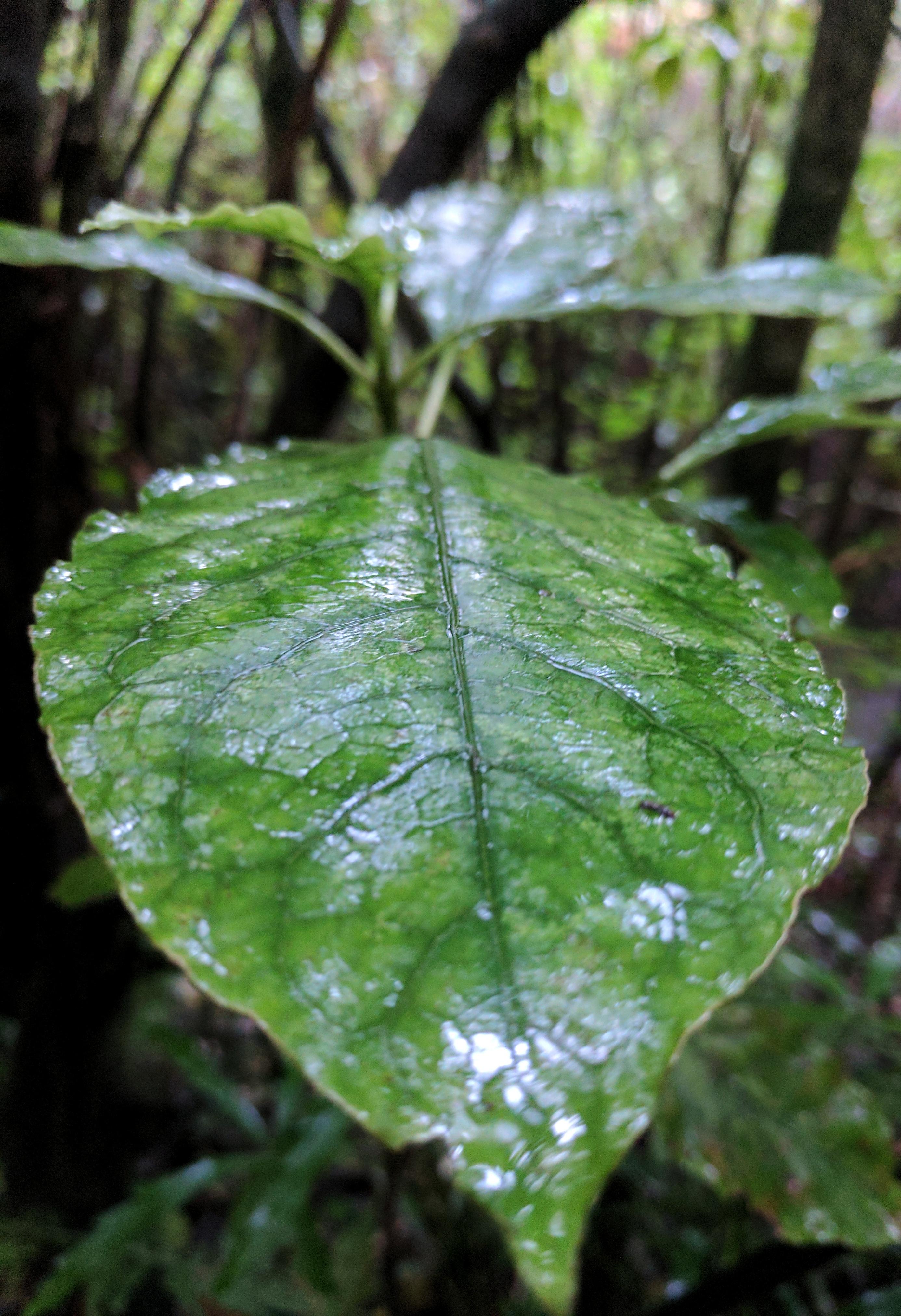 Wet leaf in a rain shower (Aotearoa New Zealand)