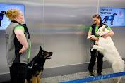 Hebat, Anjing Pelacak Deteksi Orang Terpapar Covid-19