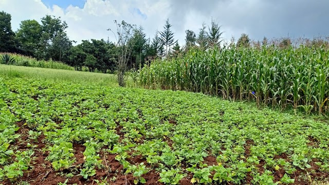 Experience has proven that Kenya cannot implement a robust strategic plan in agriculture due to poor coordination. Narrow down for better results.