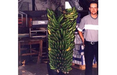pisang terbesar di dunia, pisang terbesar, pisang