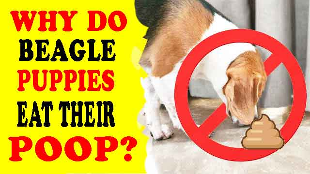Why do beagle puppies eat their poop and how can you stop it?