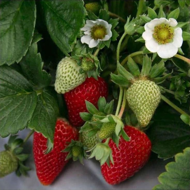 Bibit Tanaman Strawberry Jumbo Strawberry California Kondisi Berbuah Sumatra Barat