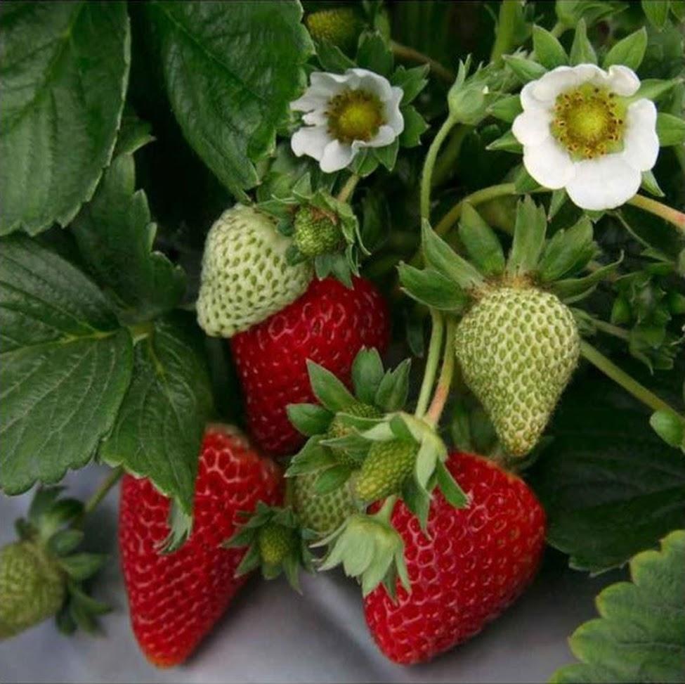 Bibit Tanaman Strawberry Jumbo Strawberry California Kondisi Berbuah Pagaralam