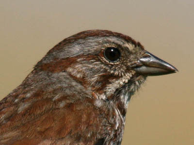 Photo portrait of Song Sparrow