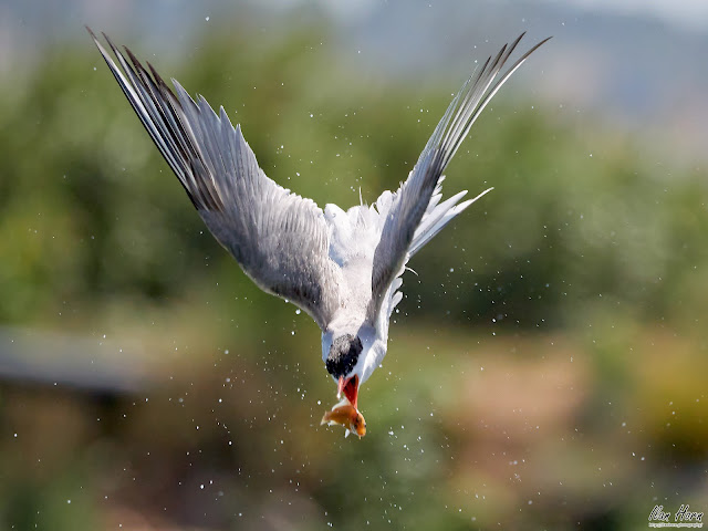 Tern Catching Fish in the Air part II