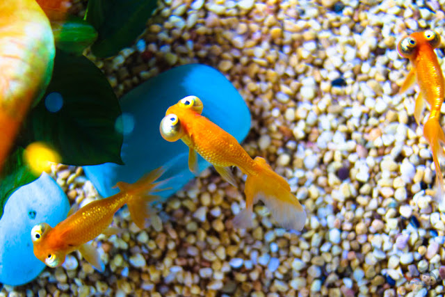 Goldfish in Ocean Park Hong Kong 2