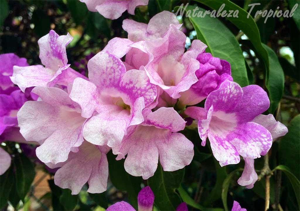 Floración del Ajo Sacha, Mansoa alliacea
