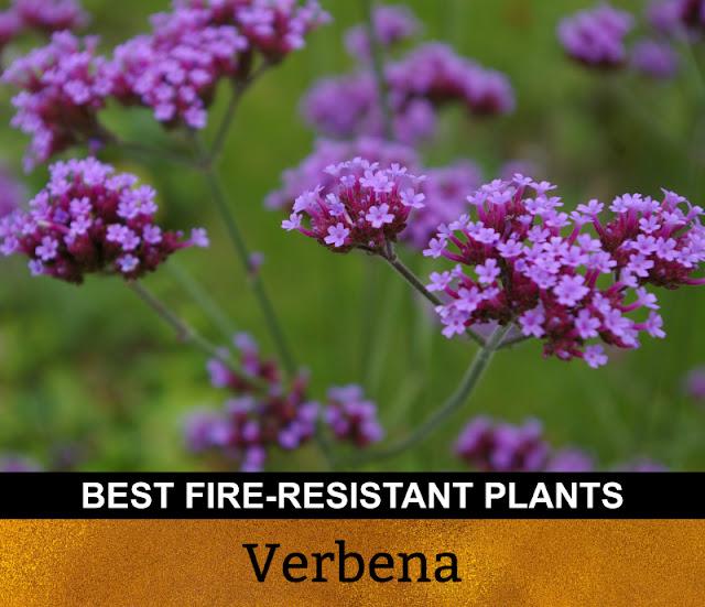 Best Fire Resistant Plants Verbena