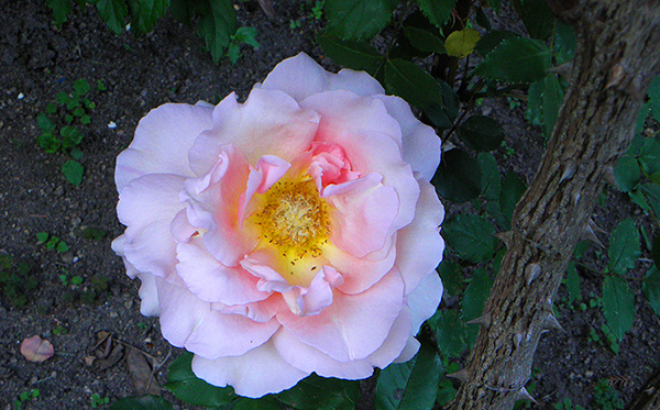 Pale pink and yellow rose with stout thorny stem