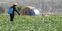 A farmer in China spreads pesticide on her crops. (Image Credit: IFPRI via Flickr) Click to Enlarge.