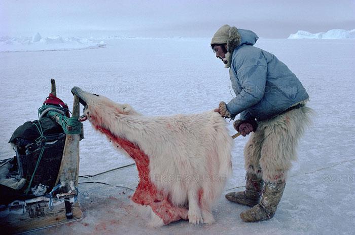 Beruang Kutub diburu Suku Inuit