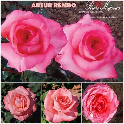 ARTUR REMBO - Arthur Rimbaud Roze ruža. Hibridna čajevka