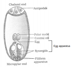 Draw a diagram of a mature embryo sac of angiosperm, label its any six parts