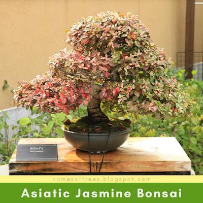Asiatic Jasmine Bonsai