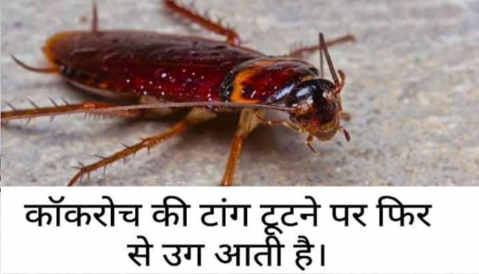 Cockroach Interesting Facts in Hindi