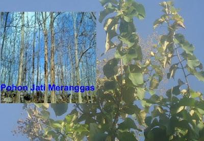 Contoh Jenis Tumbuhan Meranggas dan Fungsinya