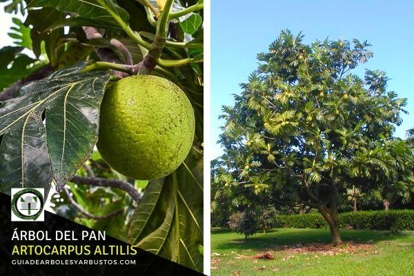 Árbol del Pan, Artocarpus altilis, árbol tropical de gran diversidad más de 120 variedades