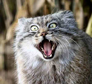 wiki world cat pulls a frightening monkey face