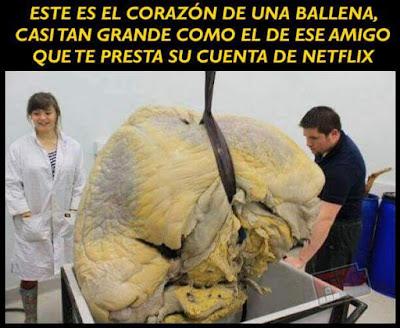 Este es el corazón de una ballena, casi tan grande como el de ese amigo que te presta su cuenta de Netflix