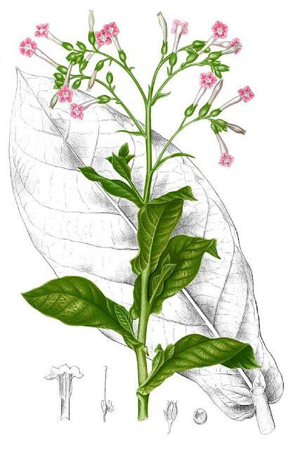 Cây Thuốc Lá - Nicotiana tabacum - Nguyên liệu làm thuốc Có Chất Độc