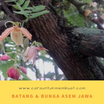Batang dan Bunga Asem Jawa