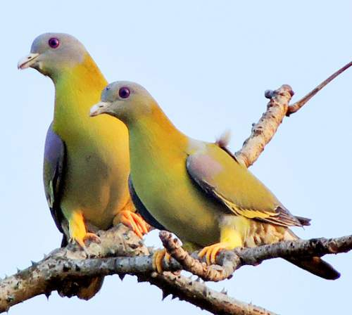 Indian birds - Image of Yellow-footed green pigeon - Treron phoenicopterus