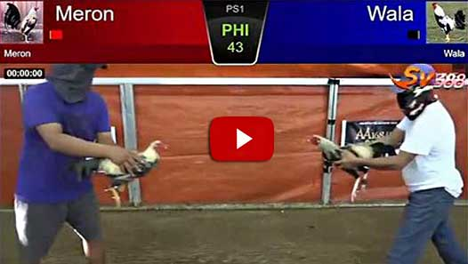 Serunya Rekaman Video Pertandingan Sabung Ayam Birma Asli