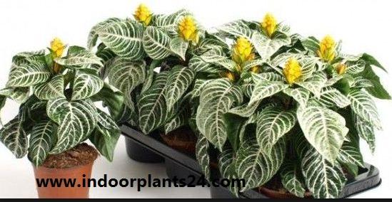 Zebra Plant - Aphelandra Squarrosa
