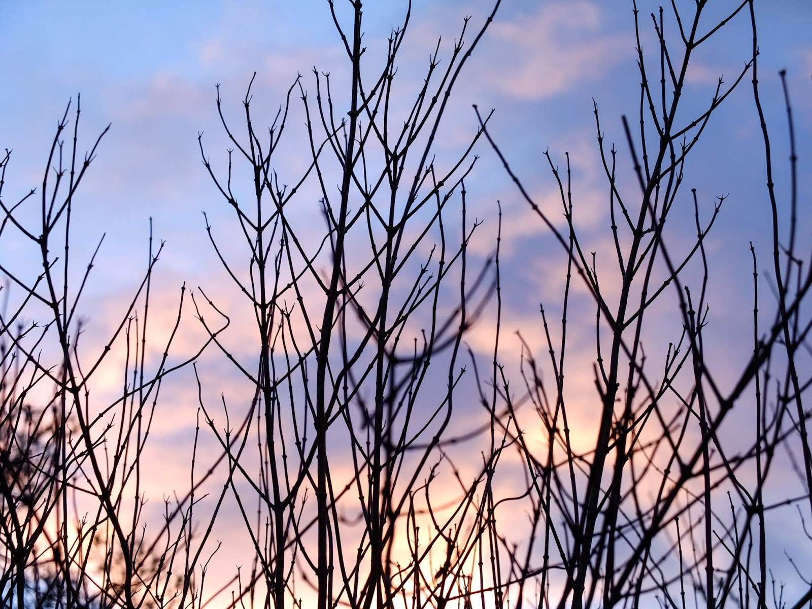 Sunset clouds behind bare Jasmine bush branches.