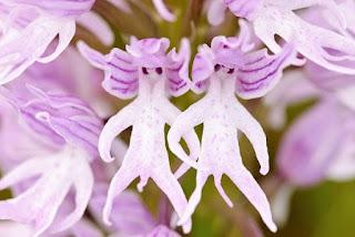 Çıplak Adam Orkidesi