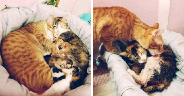 Father Cat Being Supportive While Mother Cat Giving Birth, Million Of Hearts Are Melted