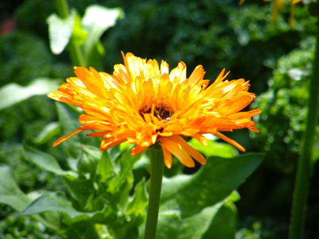 single calendula blossom
