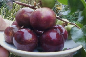 Buah plum ialah salah satu buah import yg ada di negara kita 19 Manfaat Buah Plum untuk Kesehatan, Kecantikan, Ibu Hamil dan Bayi