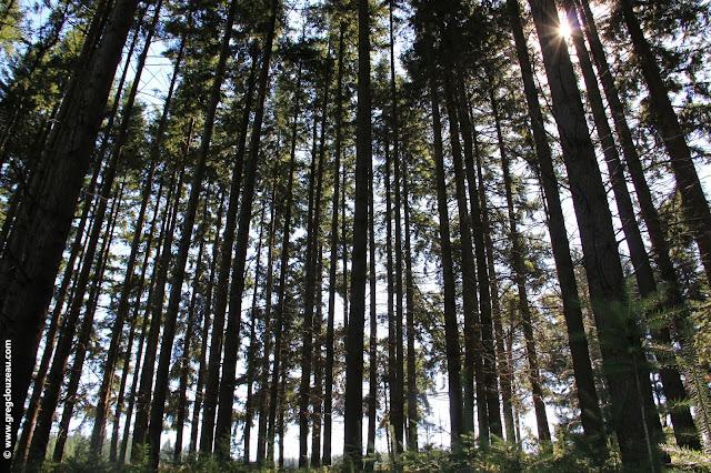 Plantation de sapins, France