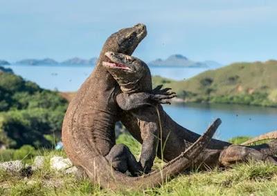 Pulau Komodo Tempat Wisata Menarik dan Kekinian