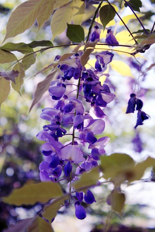 beautiful blue wisteria