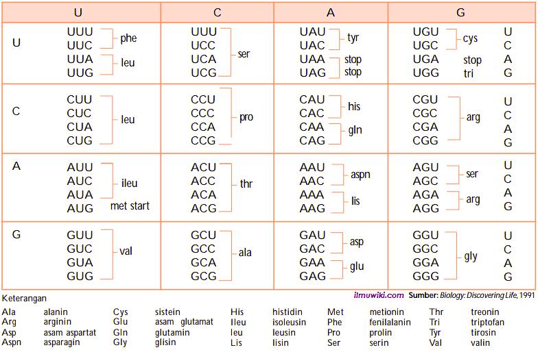 Tabel kode genetik - tahapan-tahapan sintesis protein