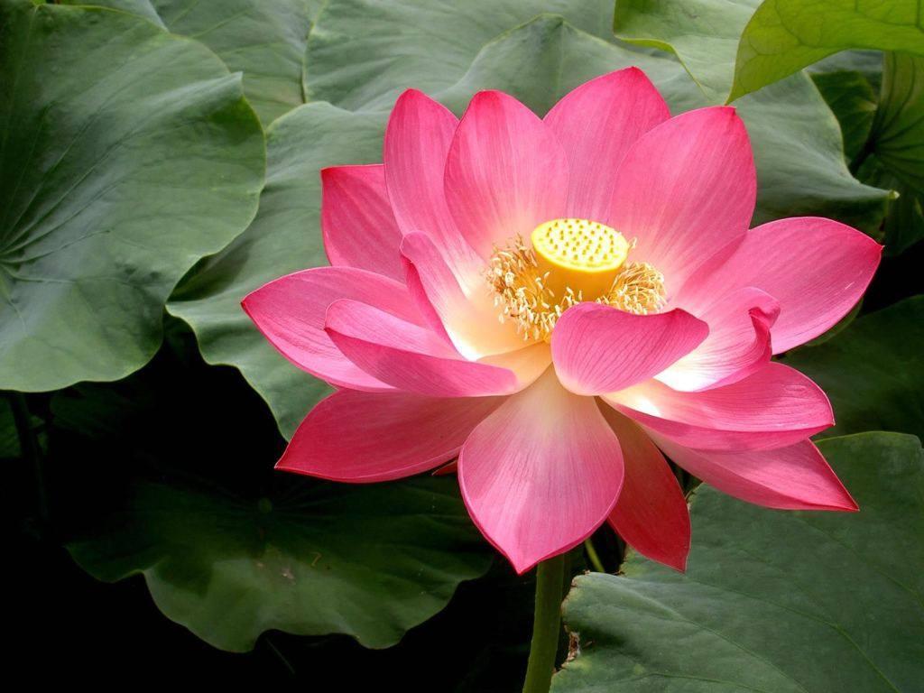 Lựa chọn hoa và lá sen phù hợp