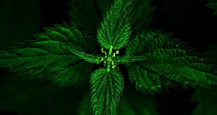 Ortiga verde para dolor artrosis