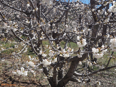 blossoming cherrytrees and landscape bubion march 2020