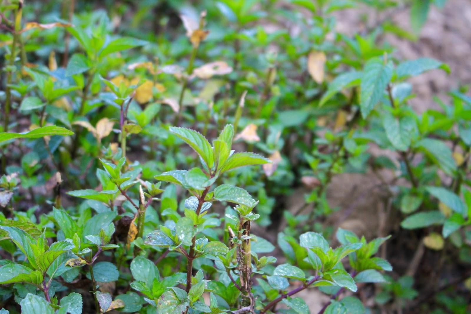 champ menthe poivrée elixens
