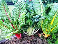 Kırmızı, beyaz ve sarı damarlı pazı bitkisi yaprakları