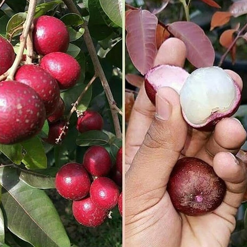 Bibit kelengkeng merah lengkeng ruby longan hasil stek okulasi cepat berbuah Jawa Tengah