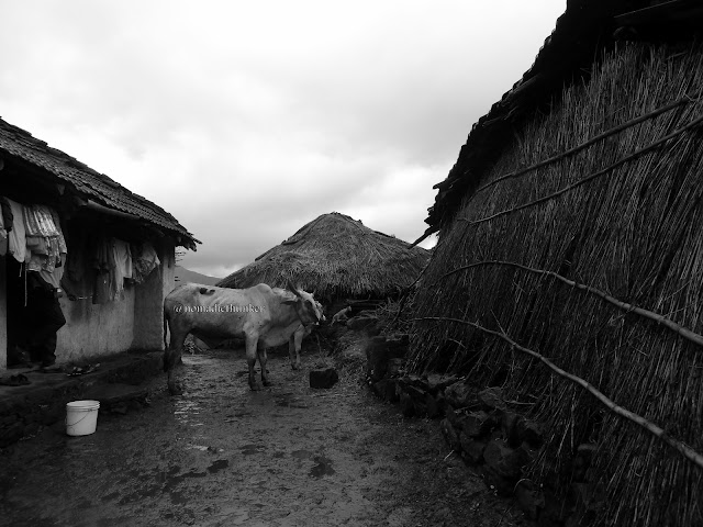 Countryside. Rural houses. Cattle. Animals. Purushwadi. Maharashtra. India