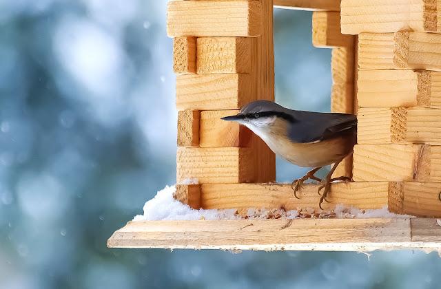 kowalik, ptak, ptaki, karmnik, zima, wies, antymiasto, blog