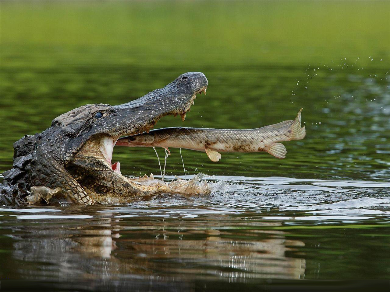 American Alligator, animal wallpapers