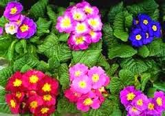 bunga epo